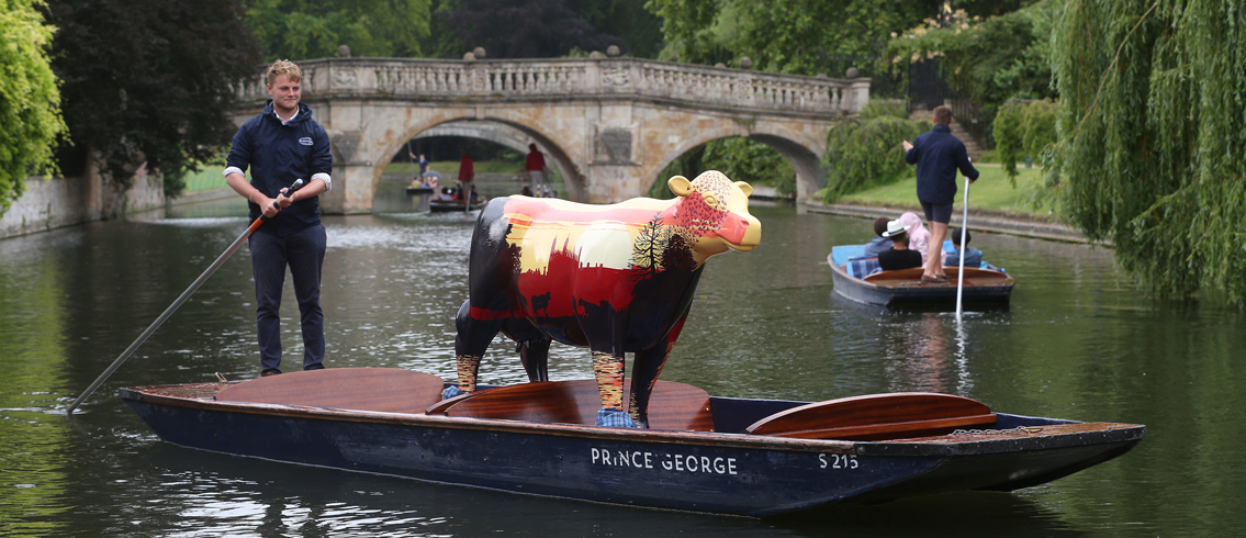 Cow on a punt